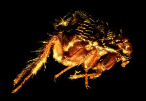 A picture of a flea