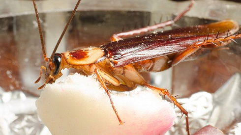 A picture of a cockroach