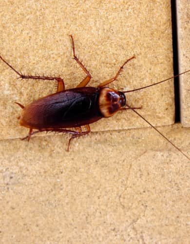 Cockroach infestataion