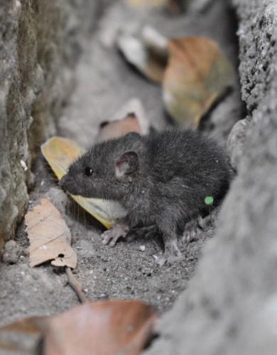 Rodents infestation